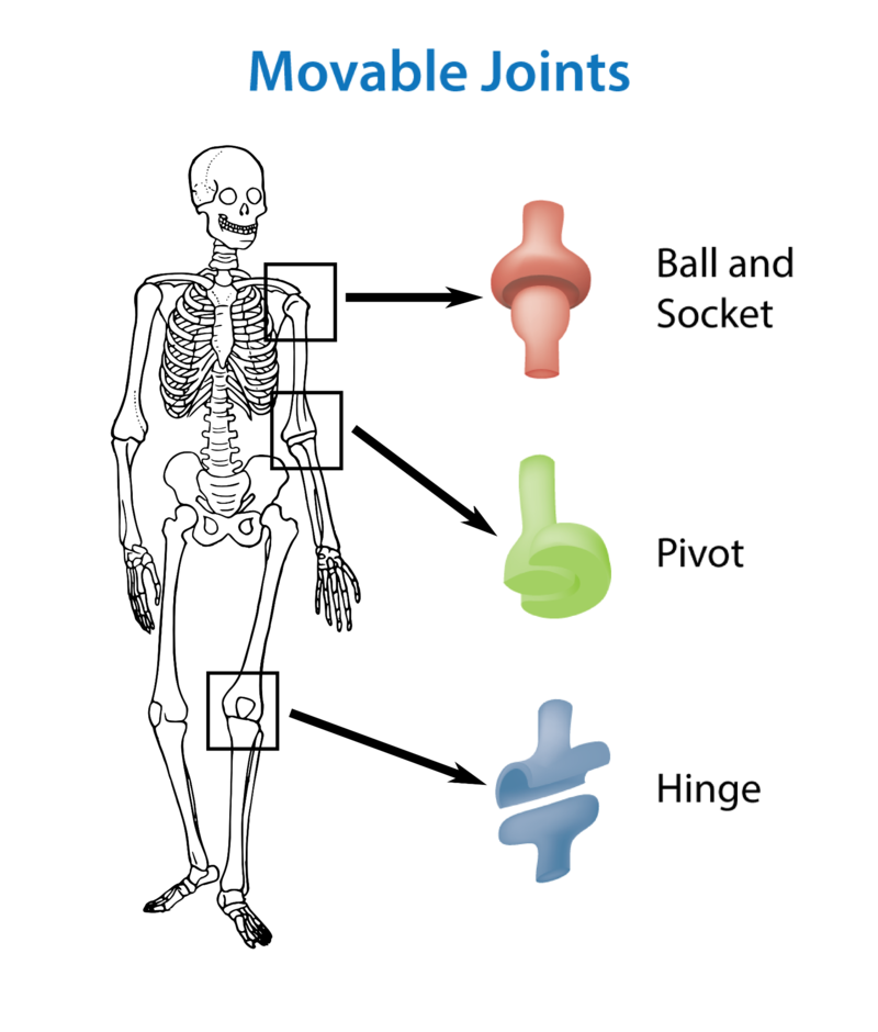 The Skeletal System – Joints and Movement Worksheet