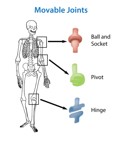 The skeletal system ck 12 foundation types of movable joints in the human skeleton movable joints can move in a variety of ways try moving each of the joints indicated in the diagram ccuart Images