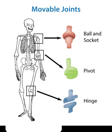 the skeletal system | ck-12 foundation, Skeleton