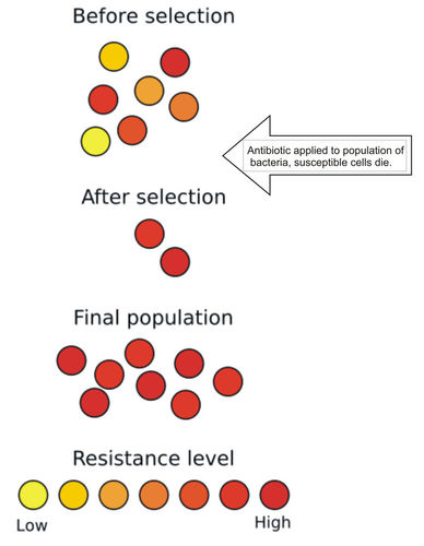 Evolution of antibiotic resistance in bacteria