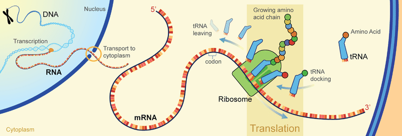 DNA transcription to mRNA, which translates to a chain of amino acids at a ribosome