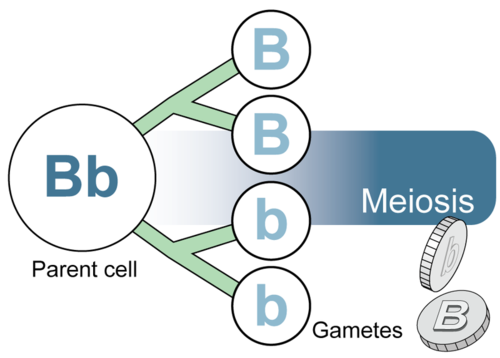 Gametes are formed during meiosis