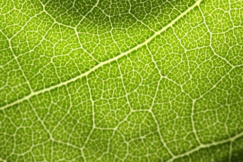 Leaf Structure and Function - Advanced