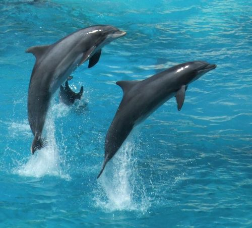 Dolphins have adapted to swimming and reproducing in water