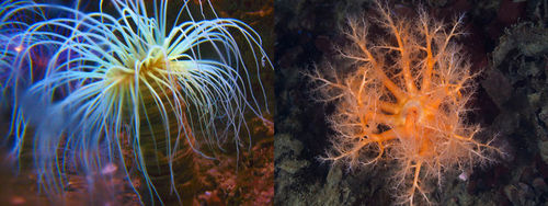 Picture of an anemone and sea cucumber, which live on the ocean floor