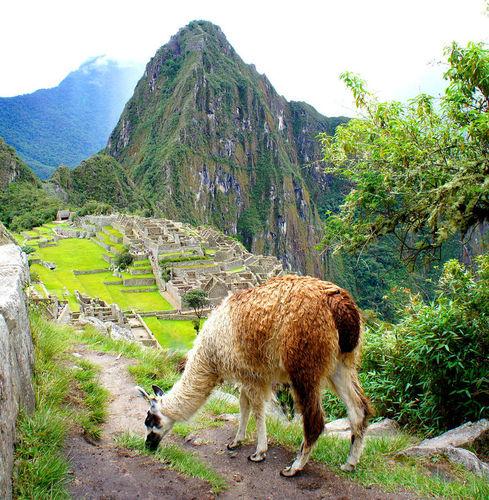 A llama grazes near Machu Picchu, Peru