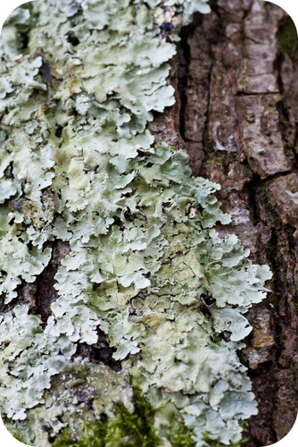 Close up view of some dry moss and lichen on a tree