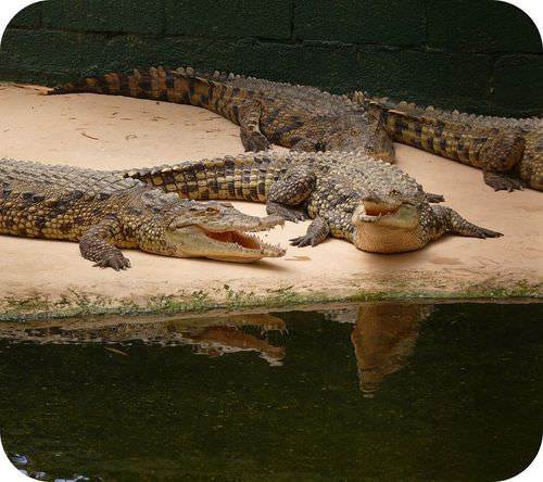 Picture of a Nile crocodile