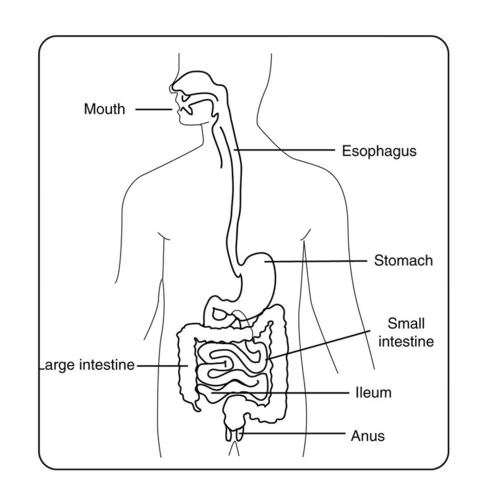 the digestive system | ck-12 foundation, Human Body