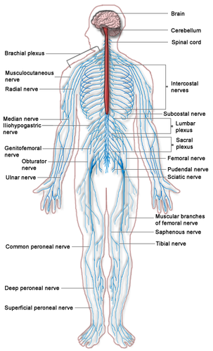 The blue lines in this drawing illustrate the nerves of the peripheral nervous system