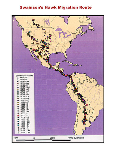 The route of migration for Swainson's hawk