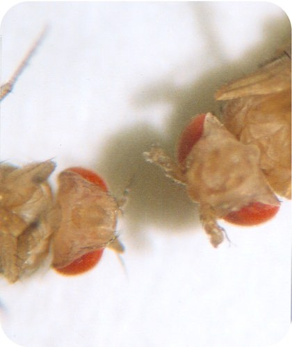 Effect of Hox gene mutation in fruit fly