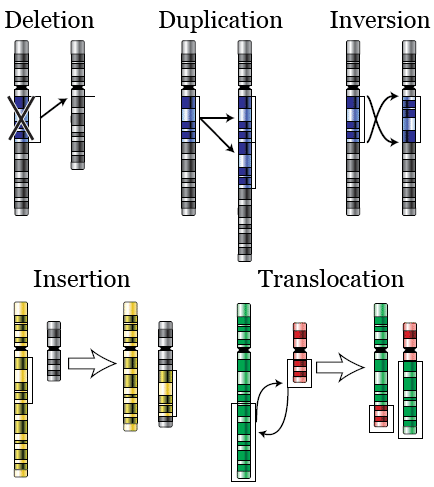 Chromosomal alterations: deletion, duplication, inversion, insertion, translocation