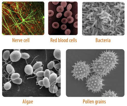 Variation in Cells ( Read )   Biology   CK-12 Foundation