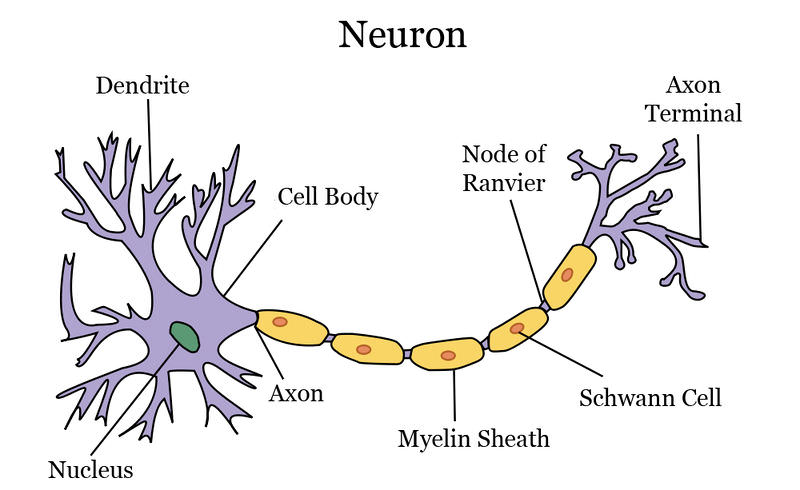 Collection of Neuron Worksheet Sharebrowse – Neuron Worksheet