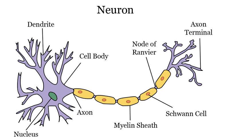Neuron ck 12 foundation neuron structure ccuart Images