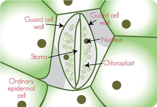 stomata of a plant leaf