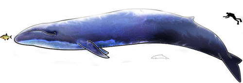 Comparison of the size of a whale, carp, and human