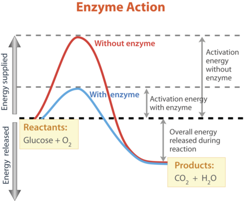 How enzyme changes activation energy