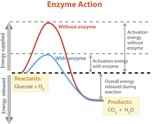 Enzymes and Biochemical Reactions - Advanced | CK-12 Foundation