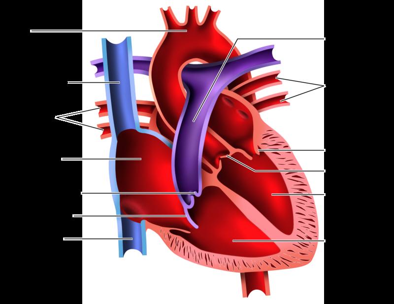 Heart Dissection Lab Worksheet Bluegreenish