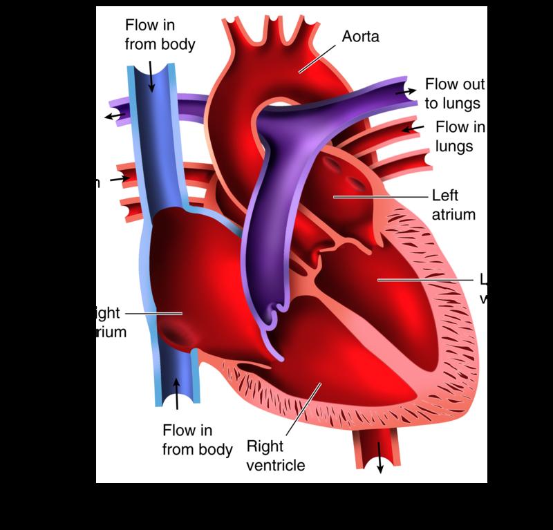 The Heart   CK-12 Foundation