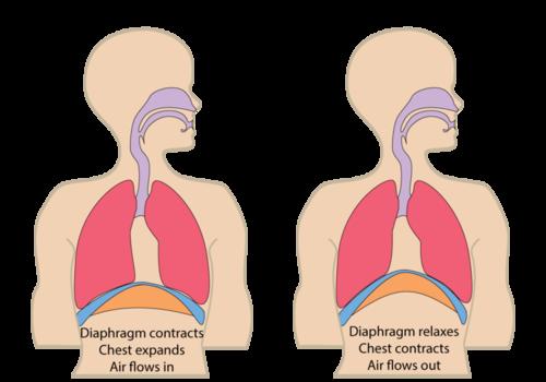 Nh  Respiratory System Regulation
