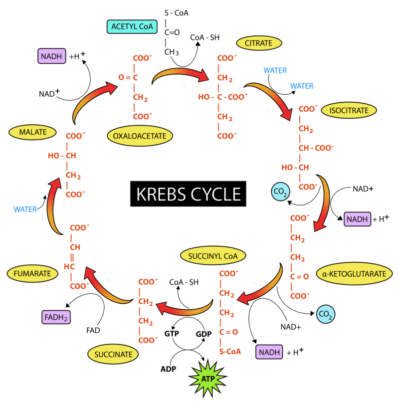 cycle citric acid pyruvate krebs glycolysis glucose oxygen energy enters breakdown cycles soult present metabolic figure