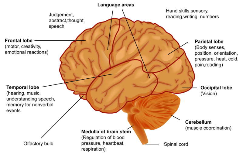 A Closer Look at the Brain | CK-12 Foundation