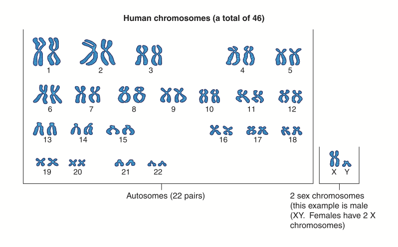 Human Chromosomes Humans Have 23 Pairs Of Chromosomes -1361