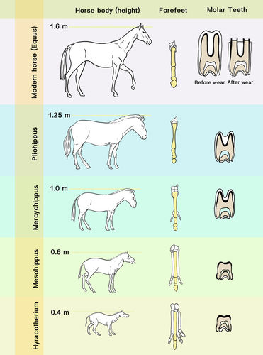 Evolution Of The Horse Worksheet Answers - Worksheet List